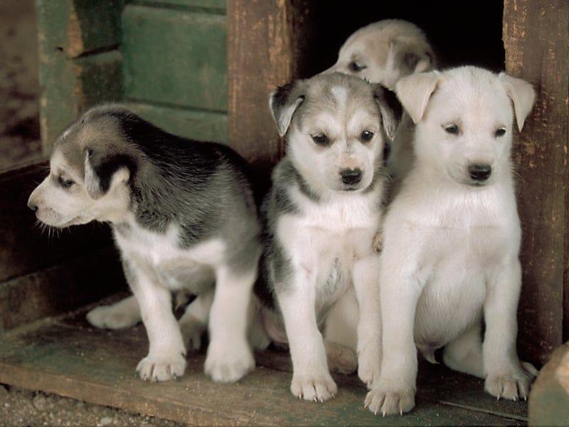 ハリニヴァのハスキー犬ファームはフィンランド最大です(イメージ)_B