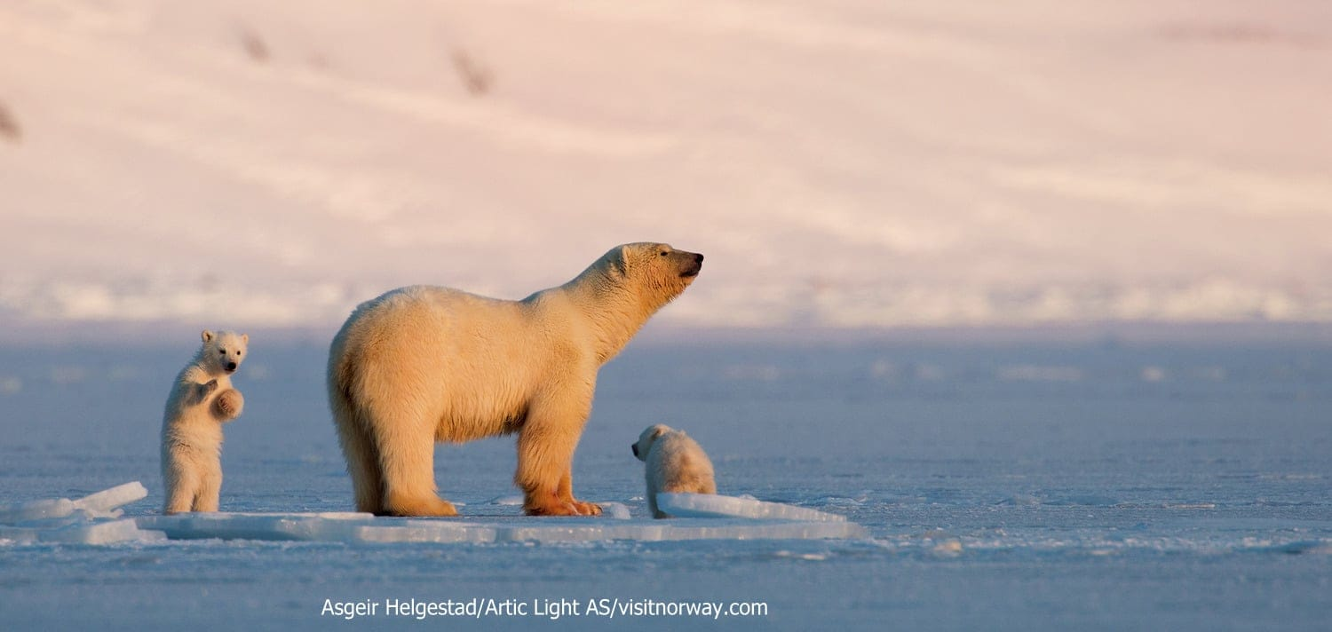 Polar-bear-with-cubs-at-Svalbard-062014-99-014