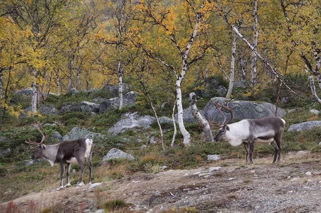 Reindeer_in_autumn_Marko_Mikkola